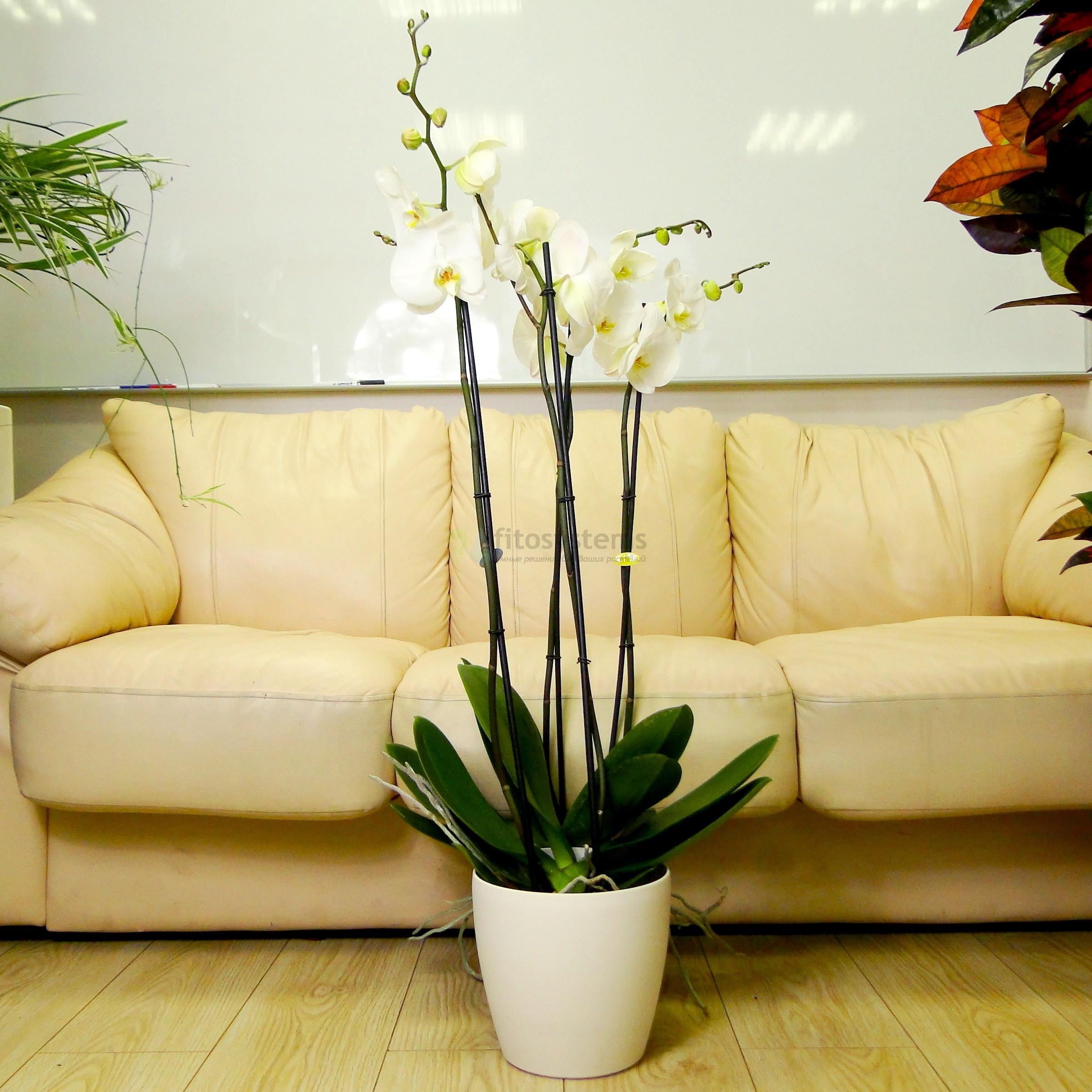 Орхидея фаленопсис белая в Lechuza Classico