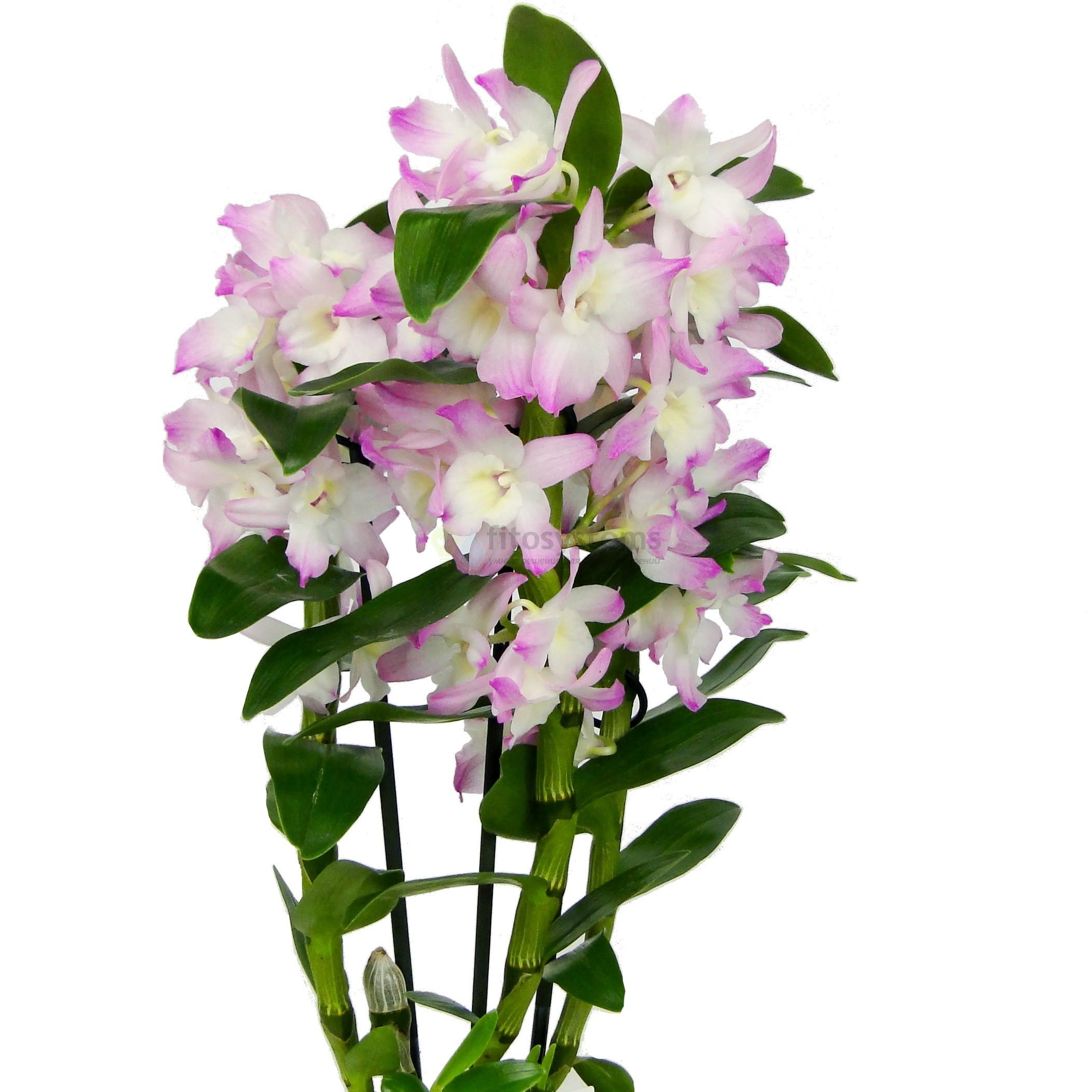 Орхидея дендробиум нобиле ирен смайл 3ст
