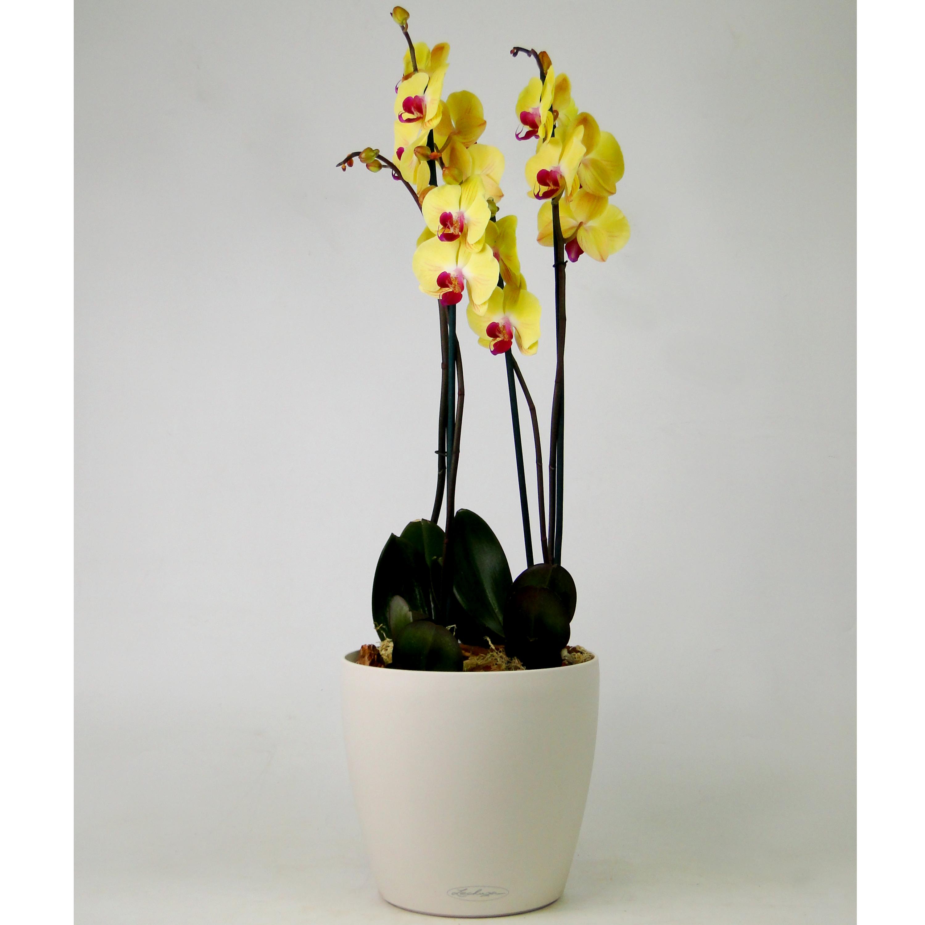 Орхидея YELLOW BEAUTY в Lechuza Classico