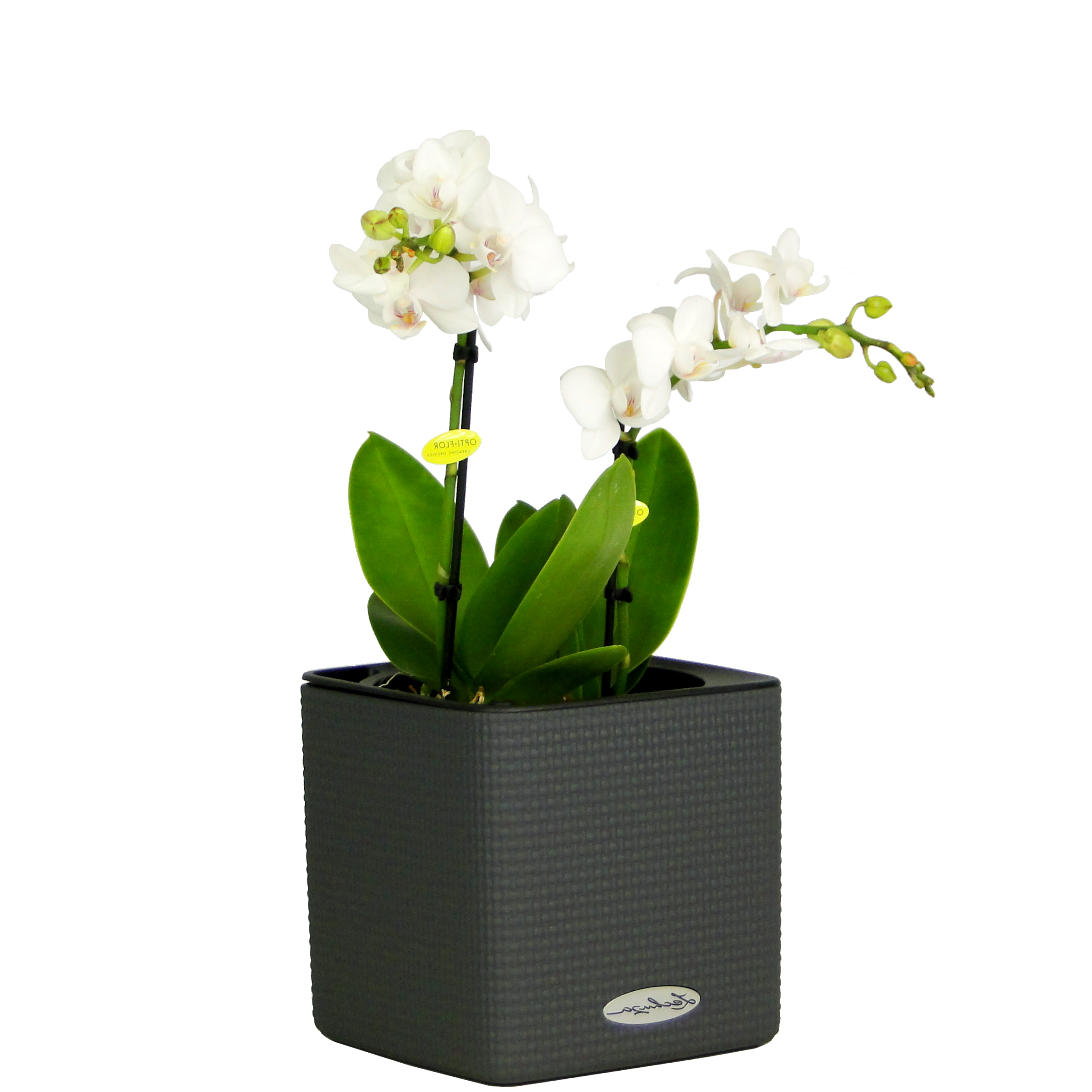Мини орхидея в Lechuza Cube 14