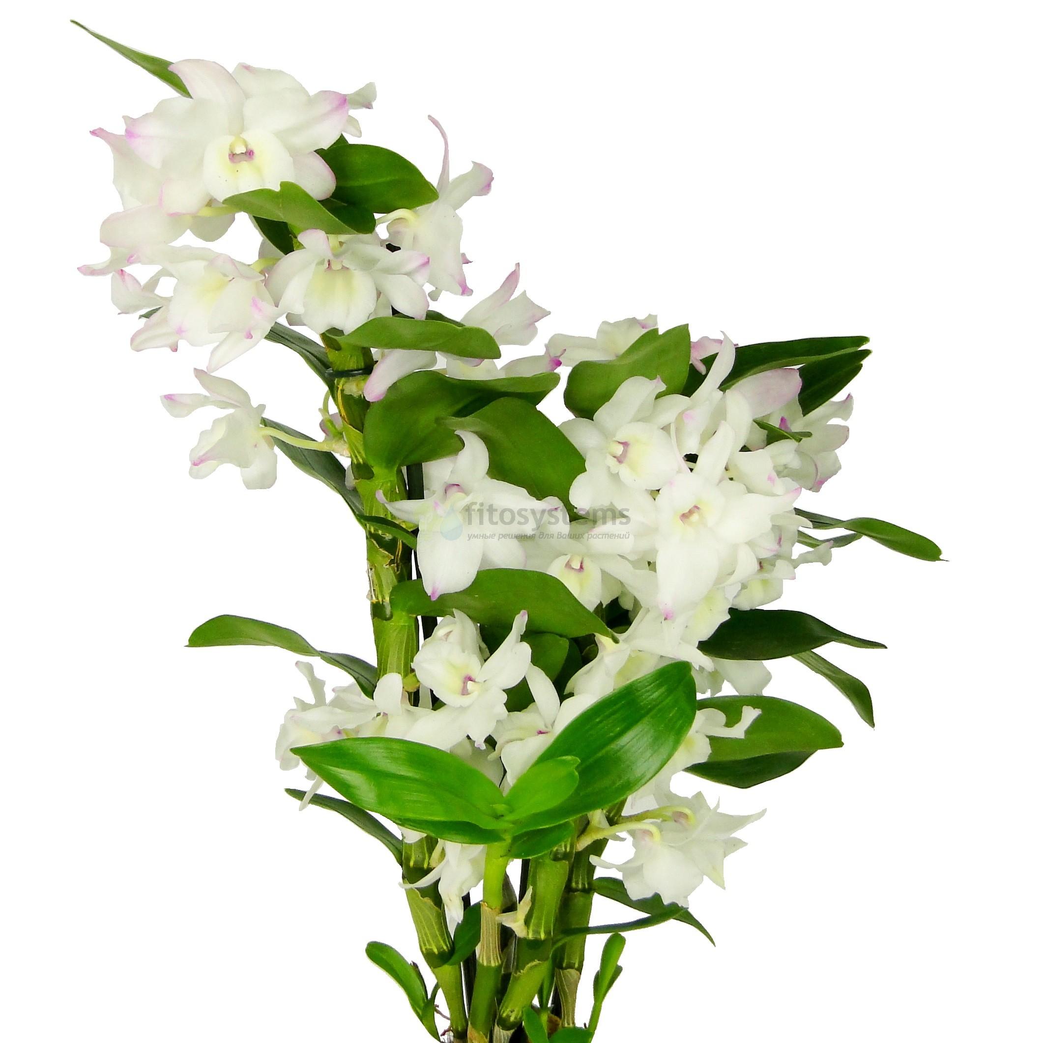 Орхидея дендробиум нобиле Белый 3 ст