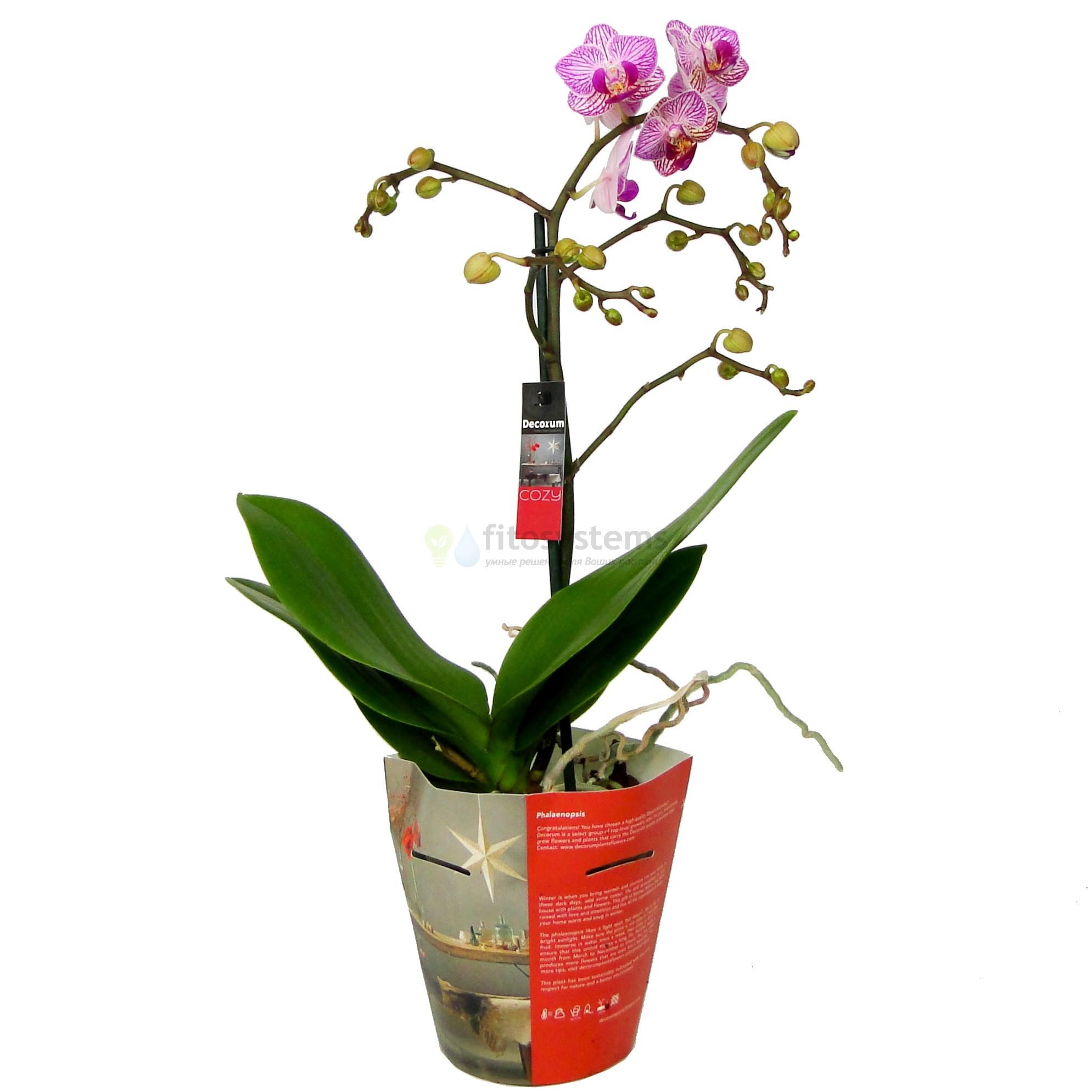 Орхидея фаленопсис Shang's Stripes