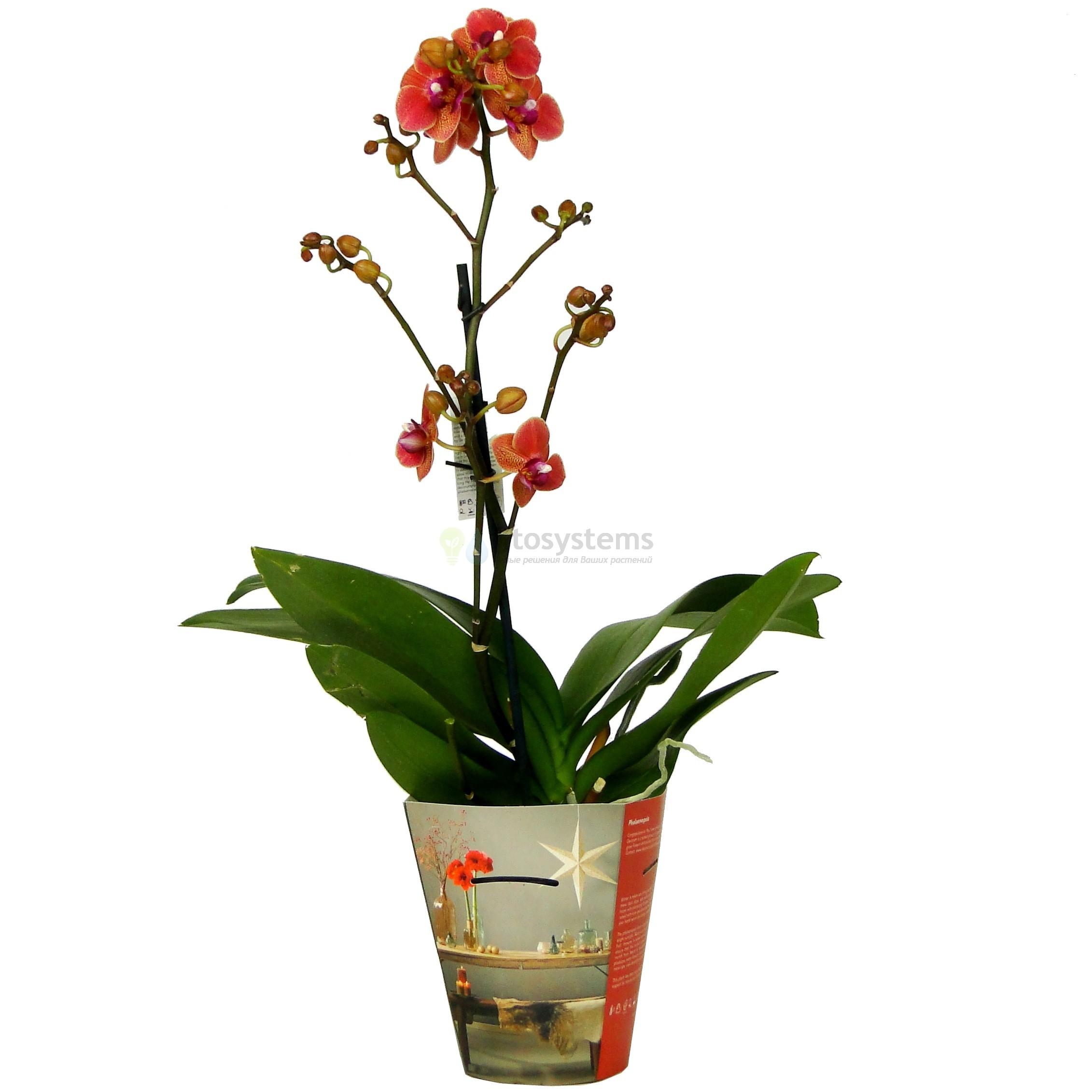 Орхидея фаленопсис Egyptian Queen
