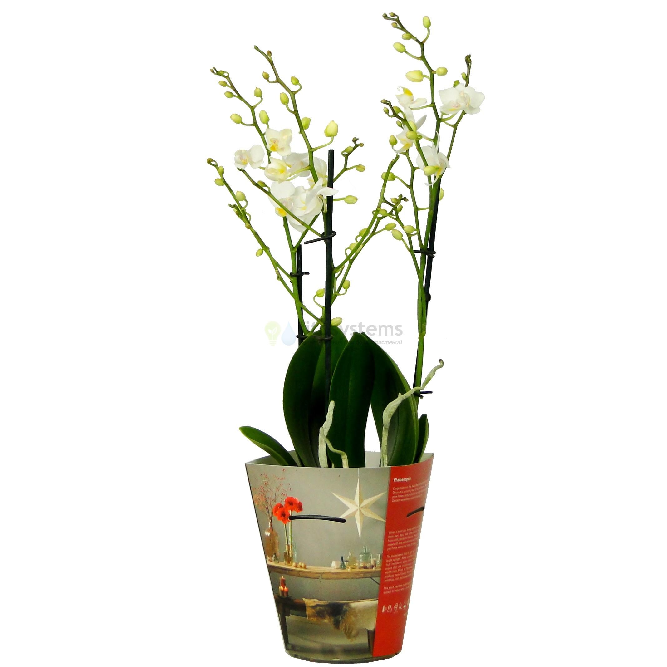 Орхидея фаленопсис белая дикая