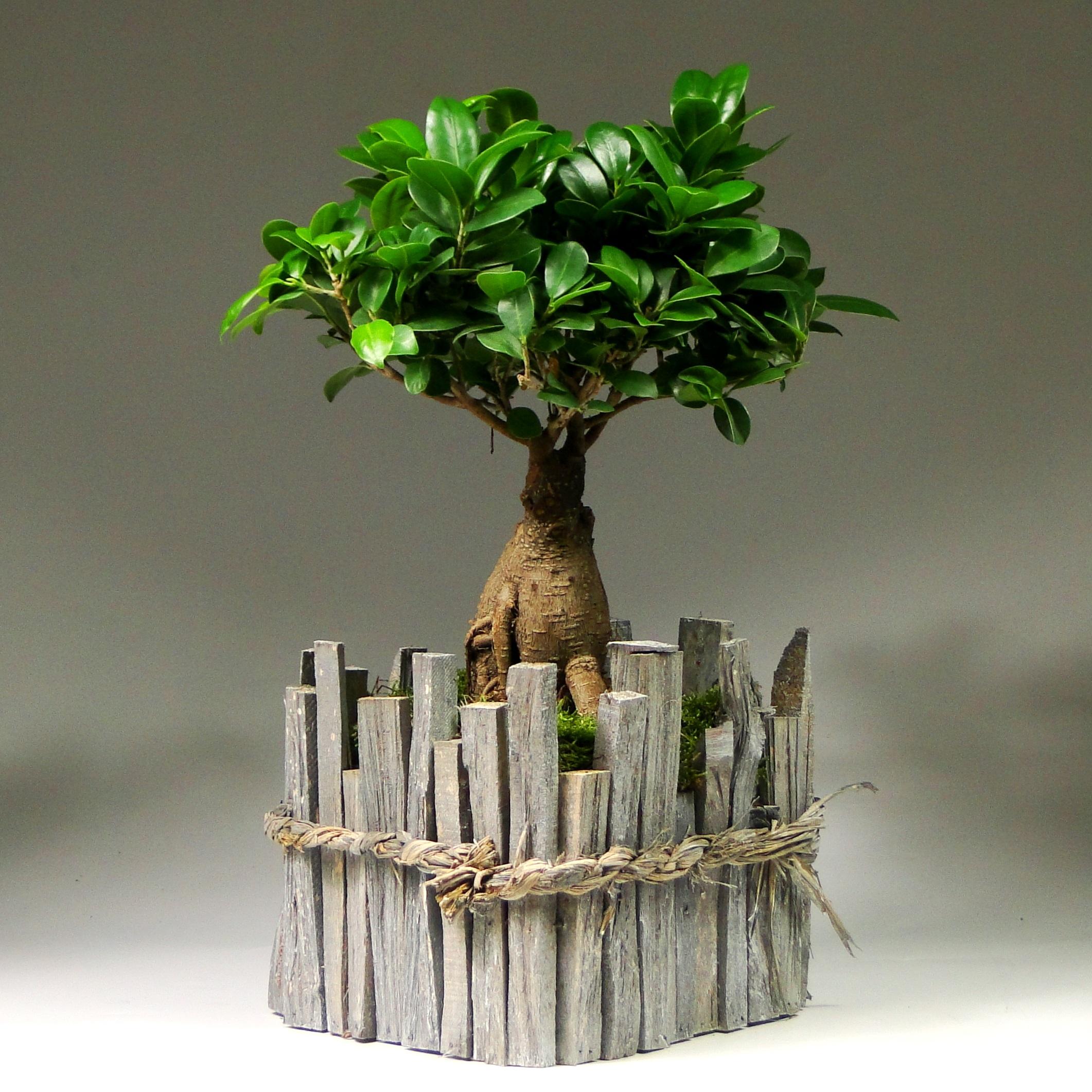 Бонсай фикус «Дом в лесу» 45 см