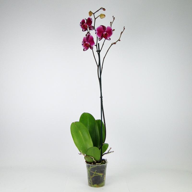 Орхидея Фаленопсис Анастасия 1 ст.