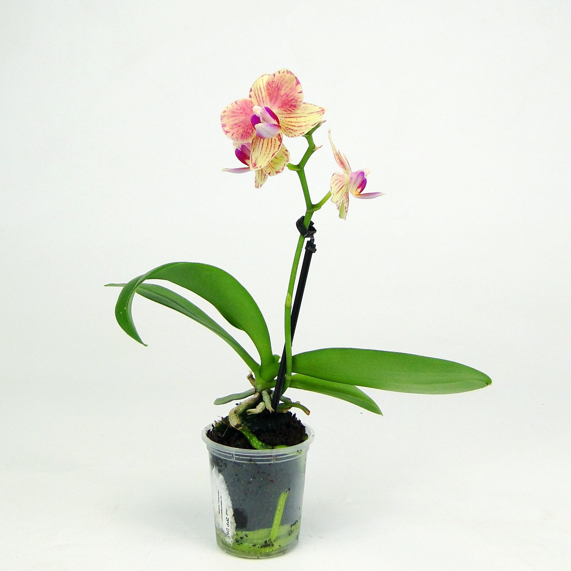Орхидея фаленопсис мини калейдоскоп