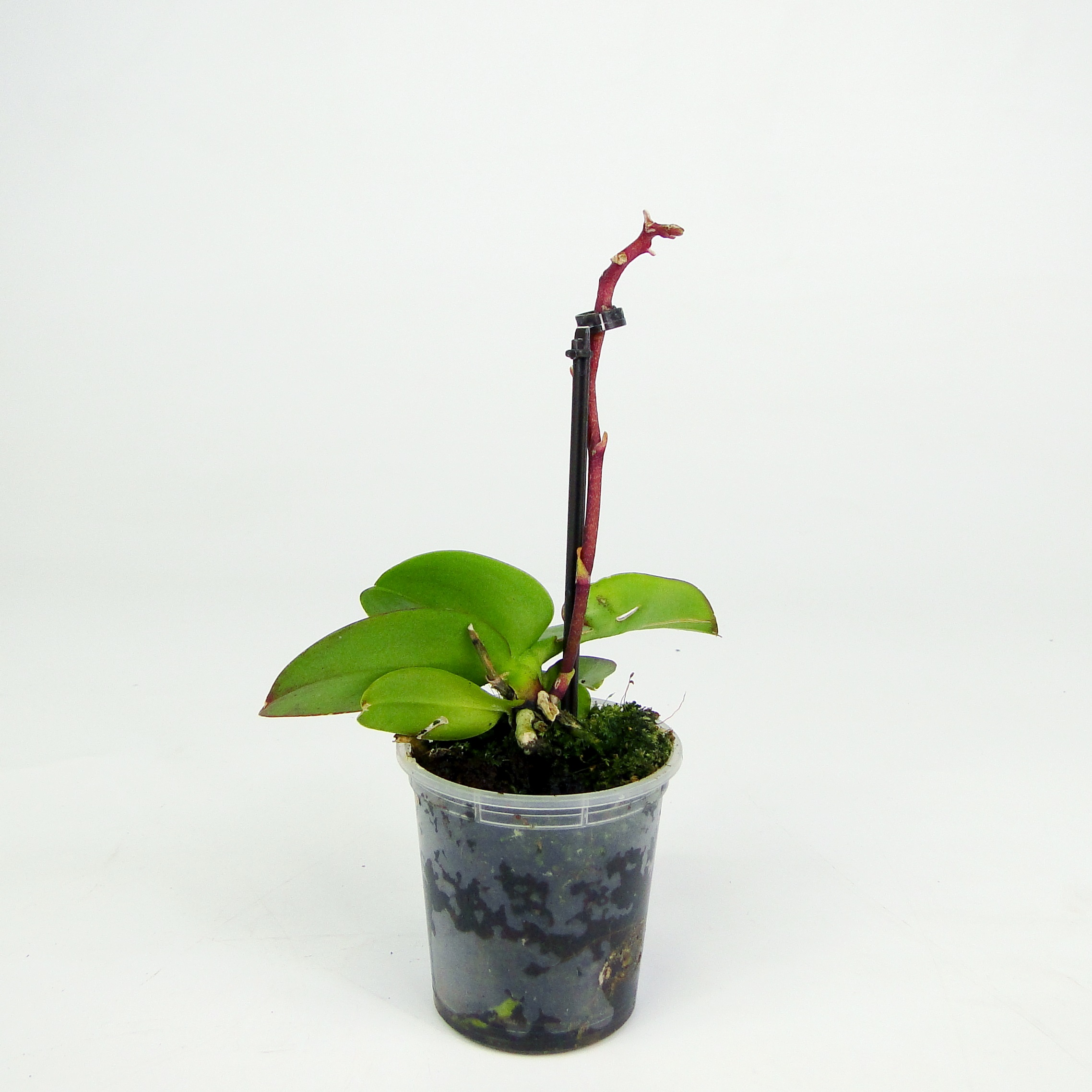 Орхидея фаленопсис мини отцветшая