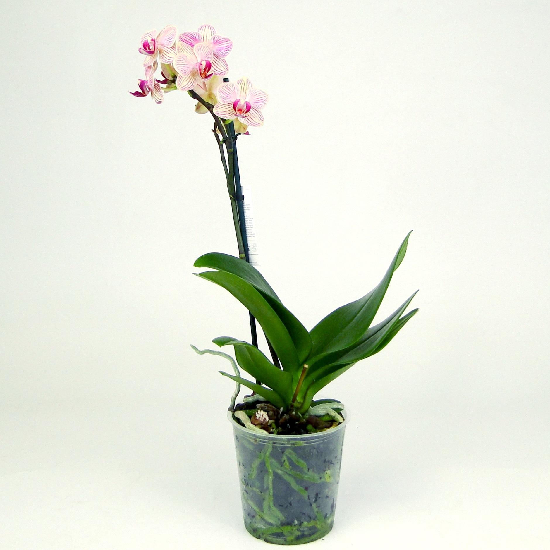 Орхидея фаленопсис Калейдоскоп распрод