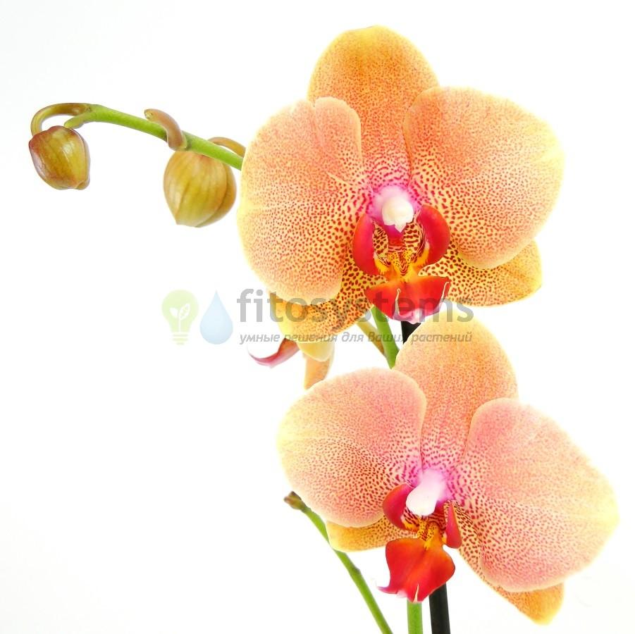 Орхидея фаленопсис Brother Sara gold