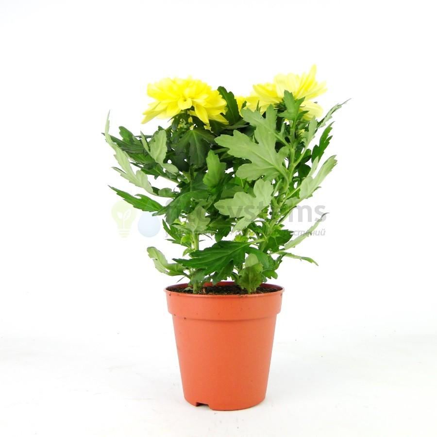 Хризантема махровая жёлтая