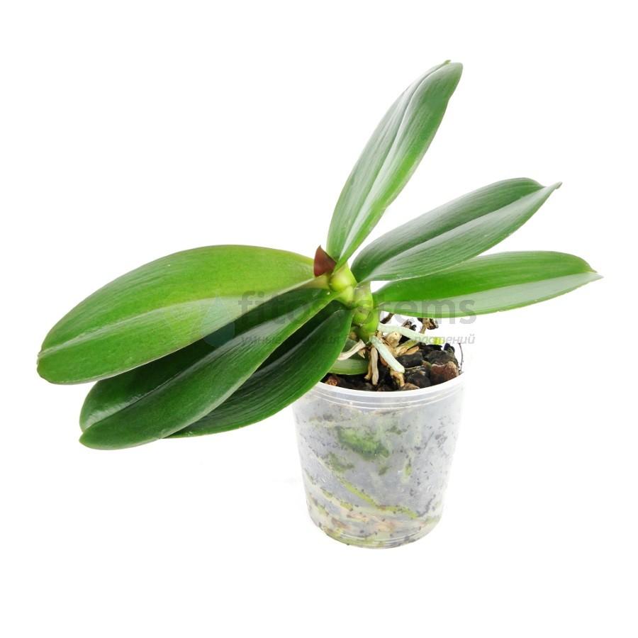 Орхидея фаленопсис отцветшая