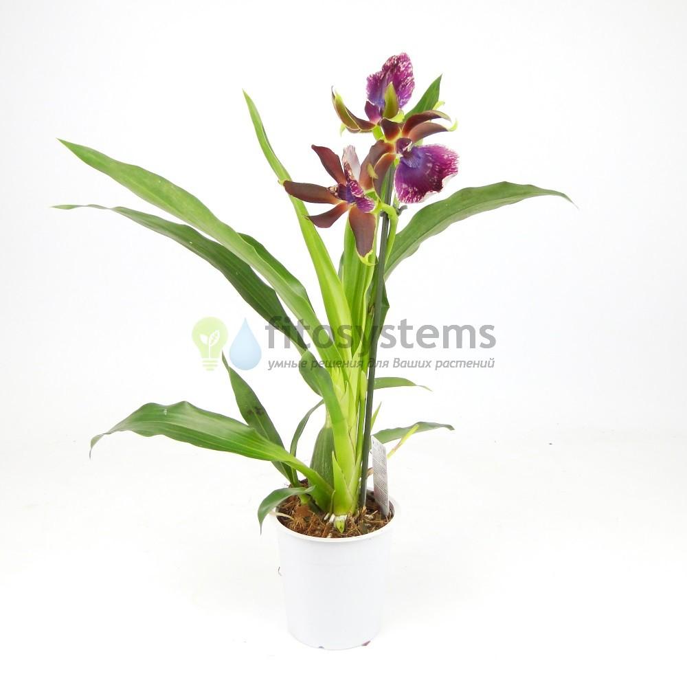 Орхидея зигопеталум Rhein Moonlight