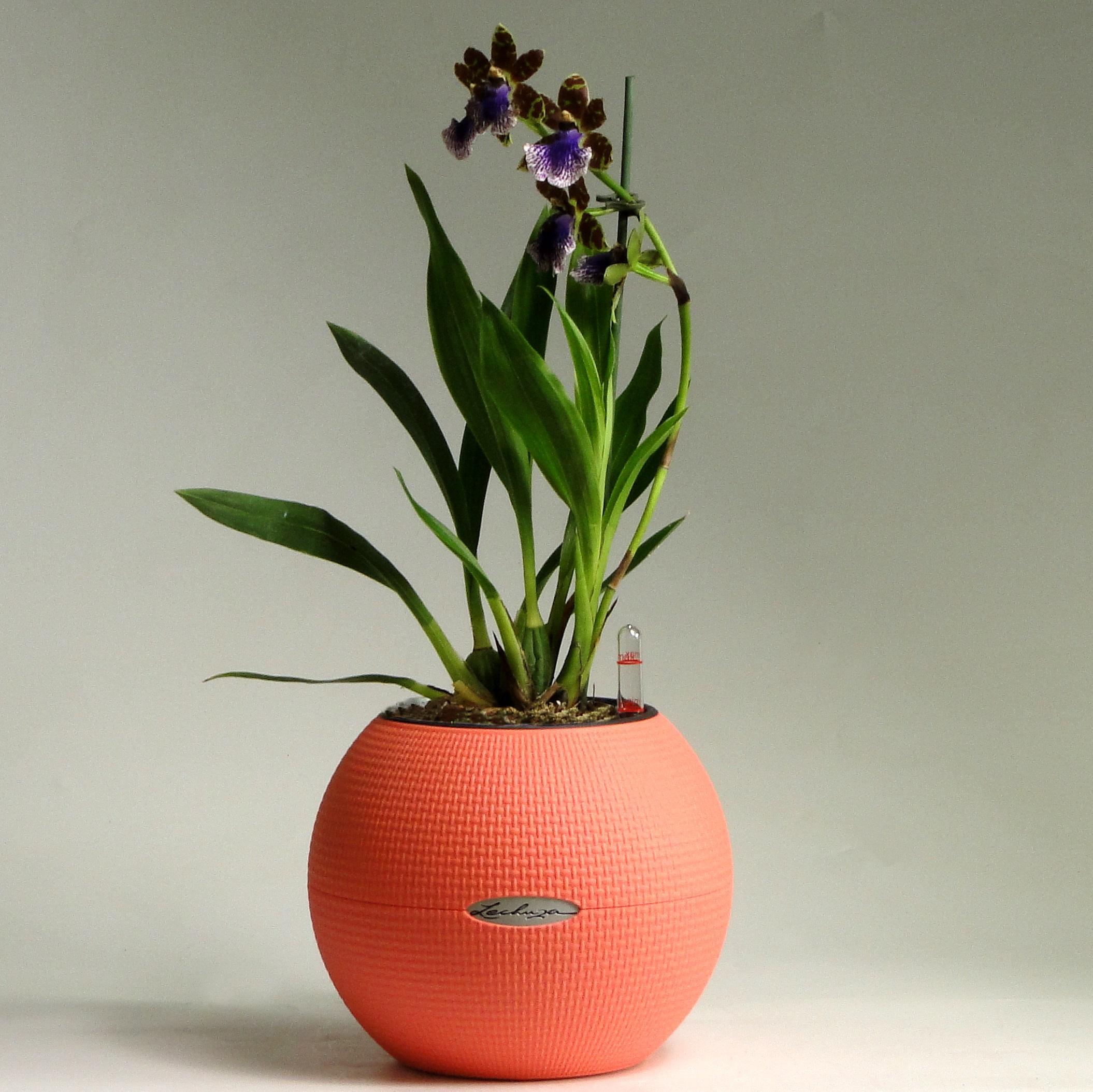 Орхидея зигопеталум в Lechuza Puro Color