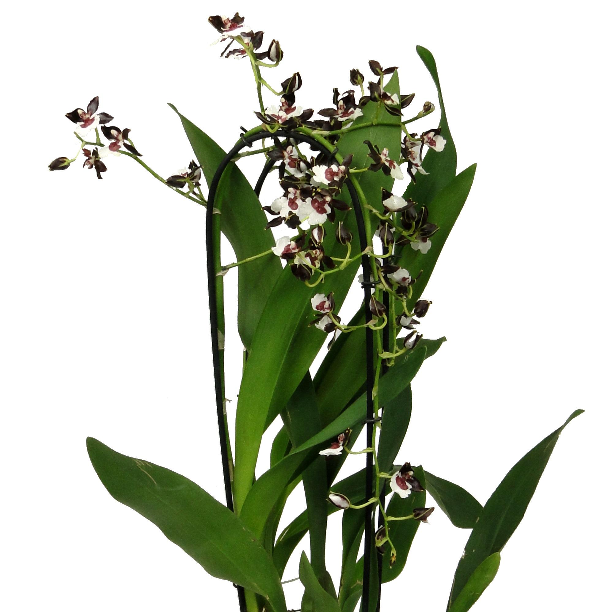 Орхидея одонтоглоссум черная