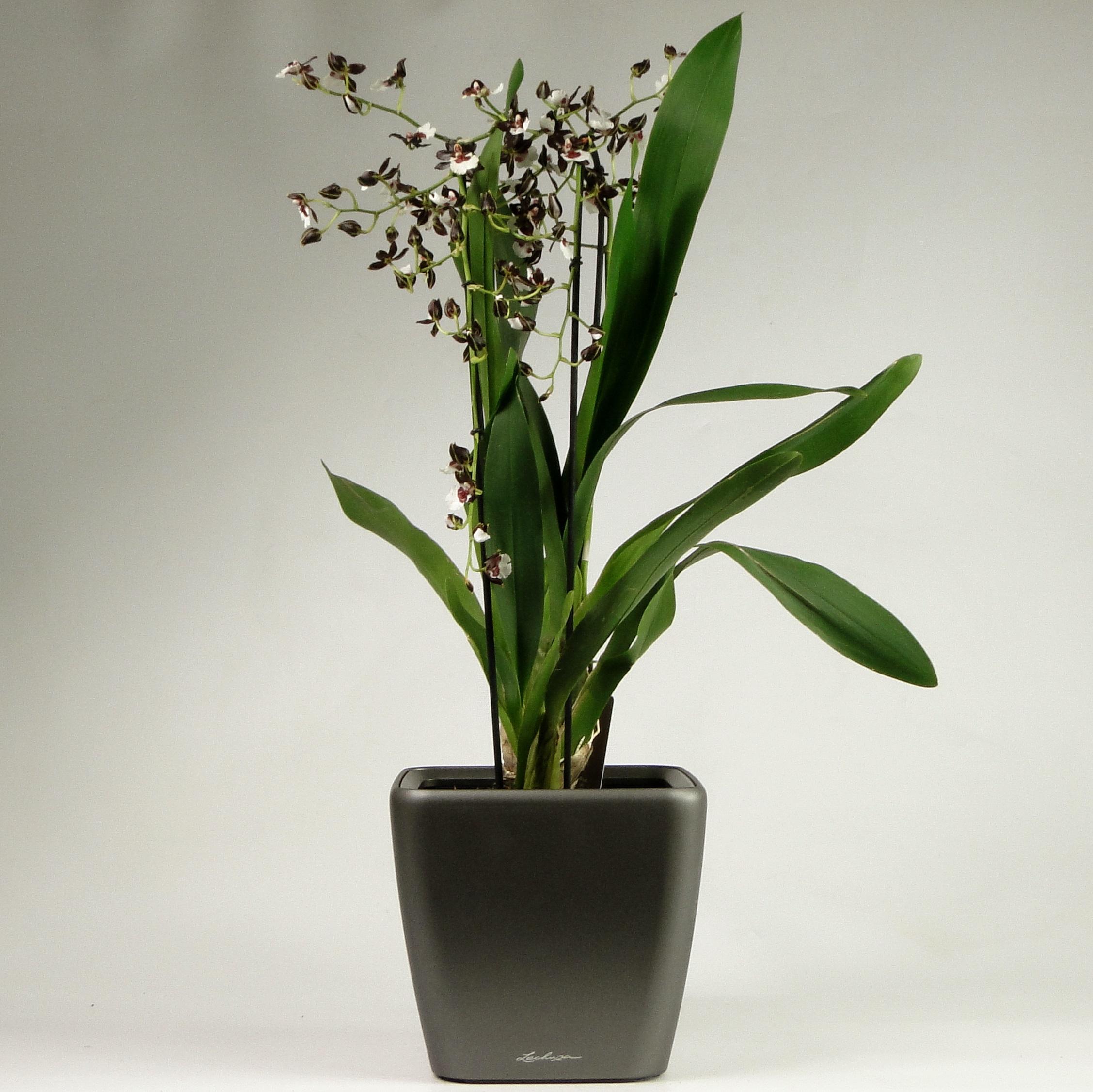 Орхидея одонтоглоссум в Lechuza Quadro 21