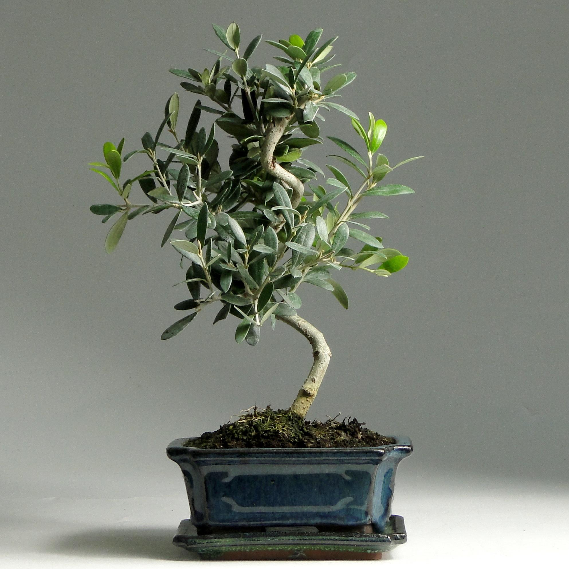 Бонсай Олива «Благородство» 32 см