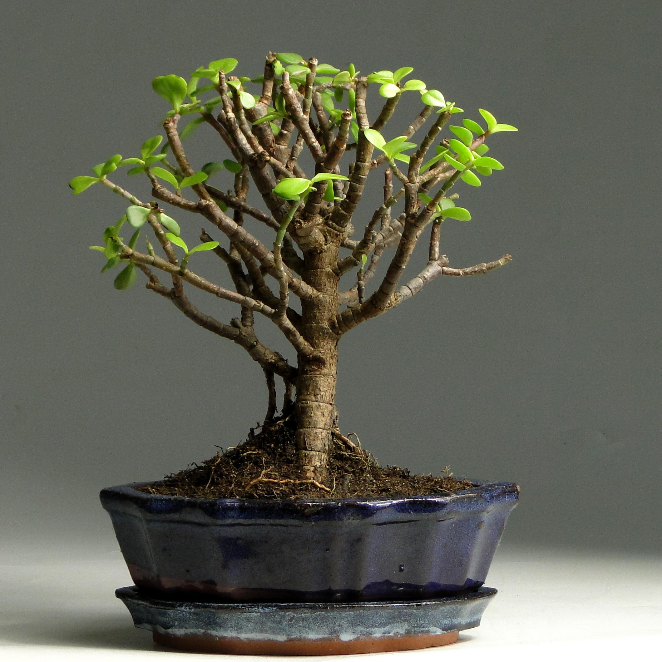 Бонсай толстянка денежное дерево 24 см
