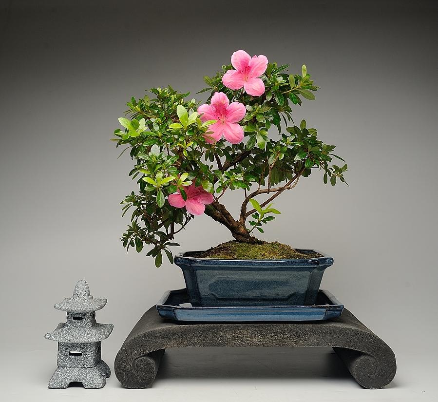 НАБОР БОНСАЙ АЗАЛИЯ «Розовая жемчужина»