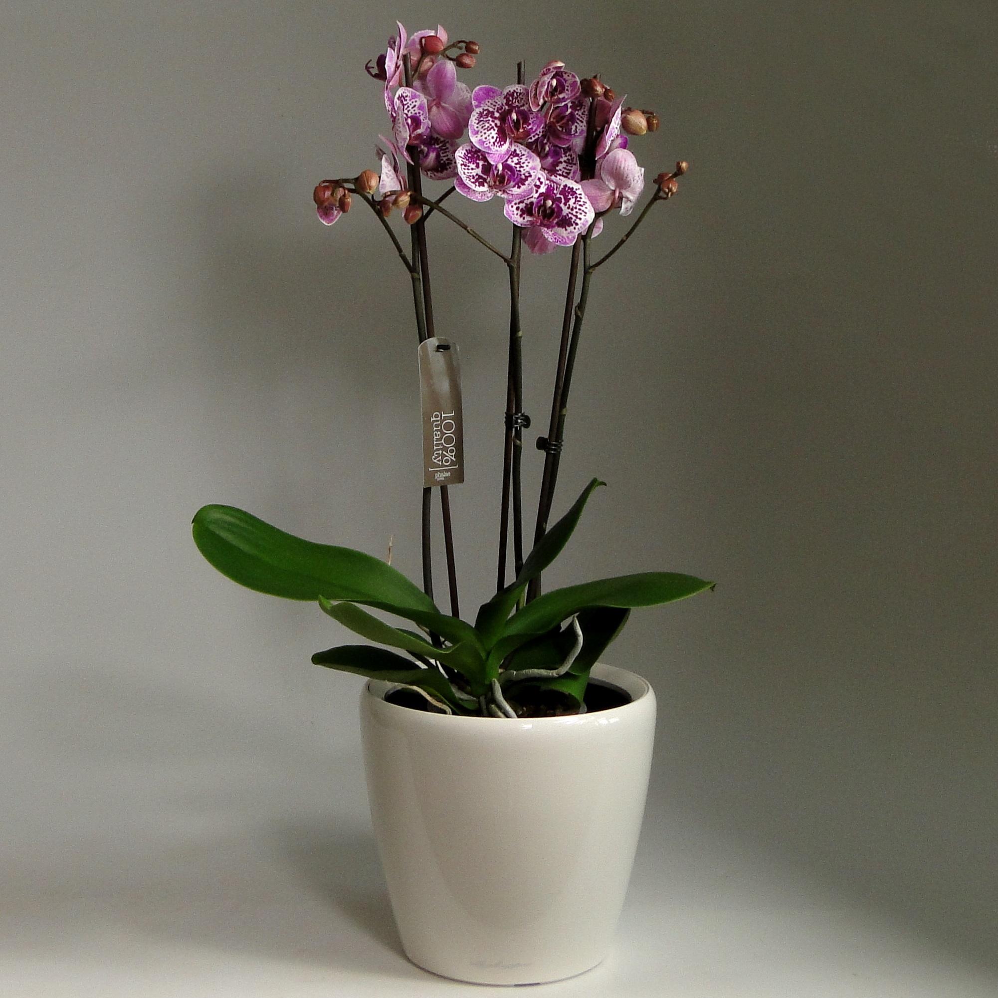 Орхидея Фаленопсис + LECHUZA CLASSICO LS 21