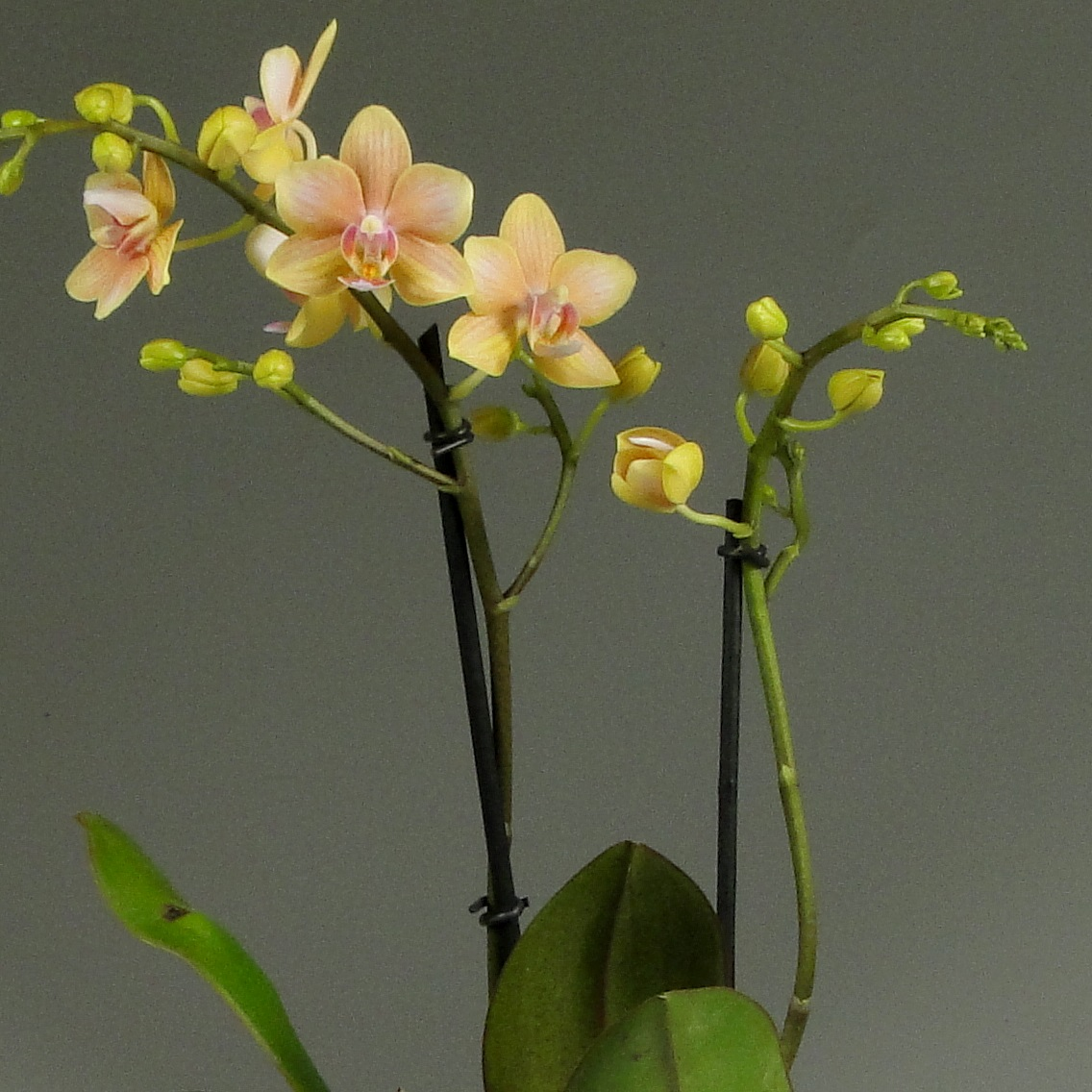 Орхидея фаленопсис голден стар Декорум