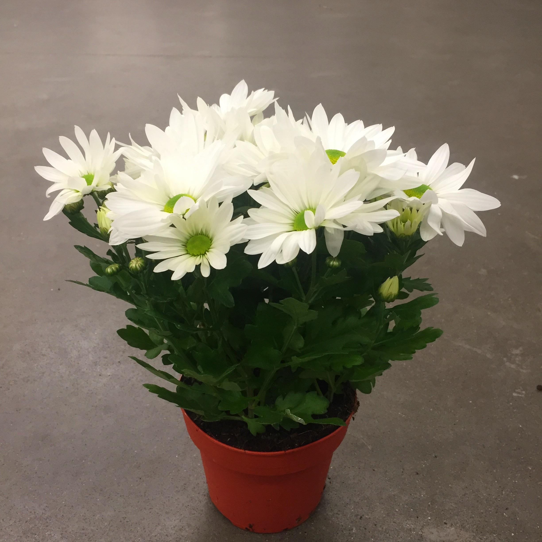 Хризантема бриз белая в горшке
