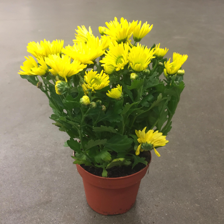 Хризантема бриз жёлтая
