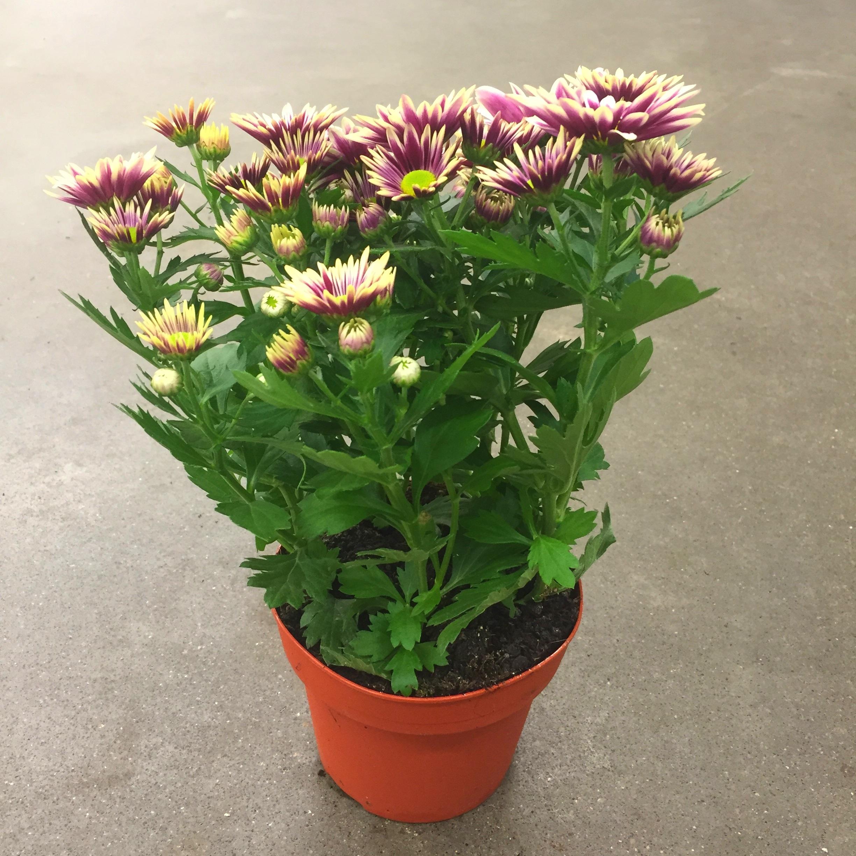 Хризантема литтл рок бело-фиолетовая
