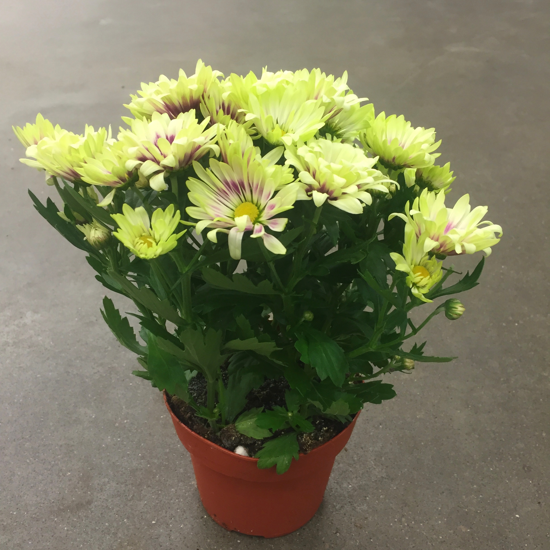 Хризантема литтл рок фиол-жёлт