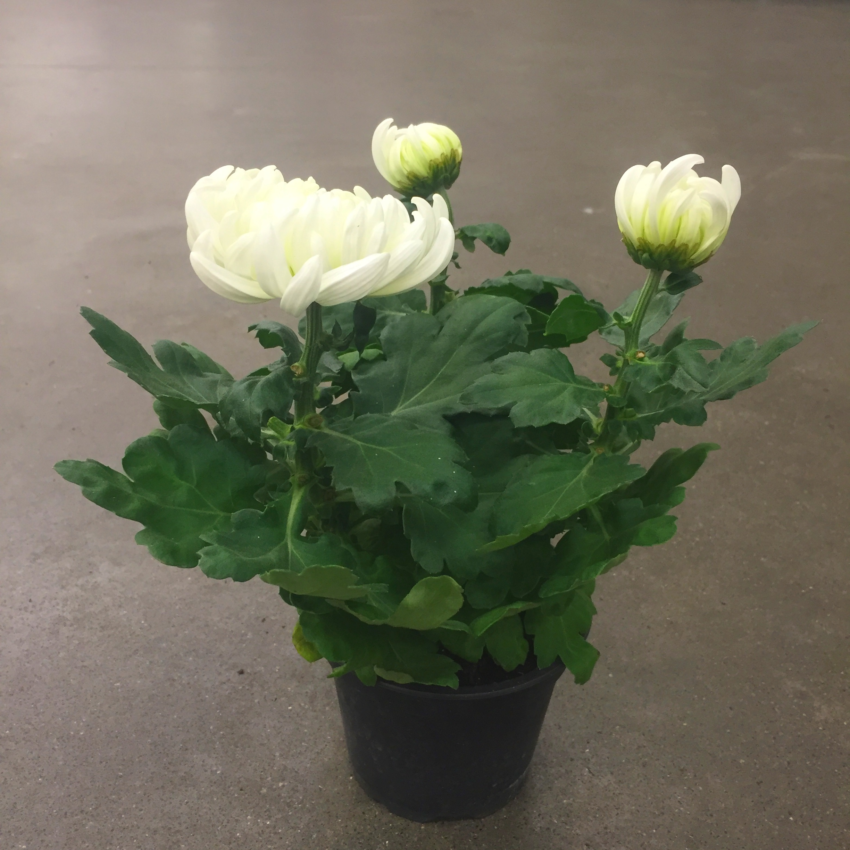 Хризантема деко микс белая