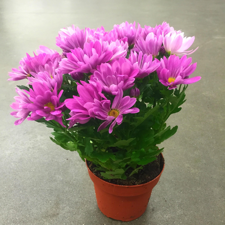 Хризантема бриз розово-фиол