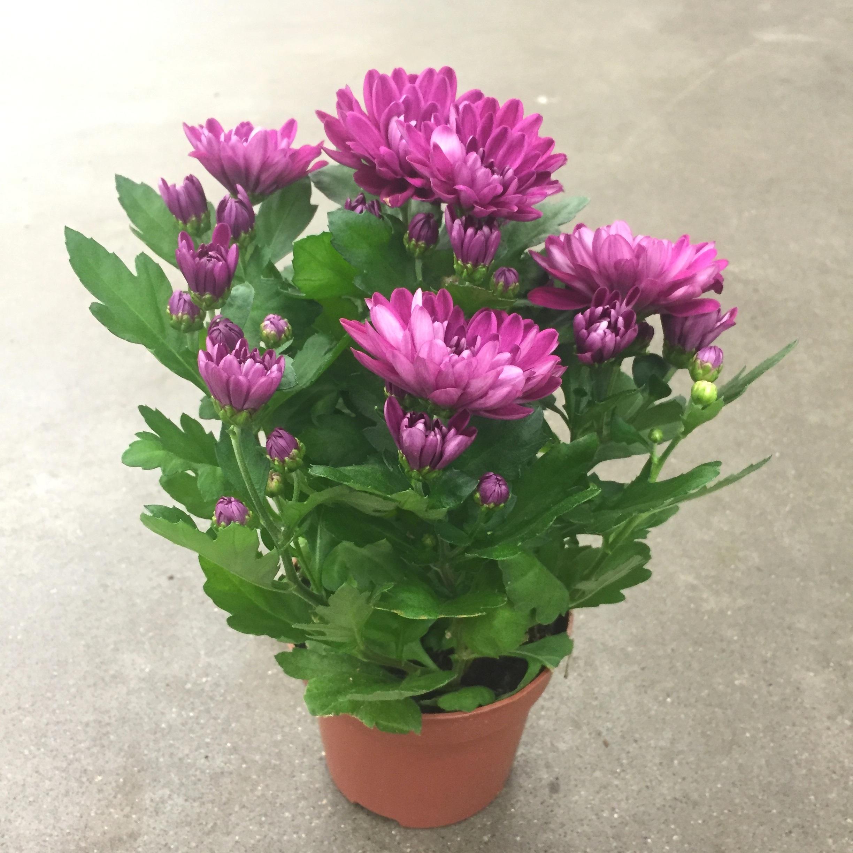 Хризантема вандерленд фиолетовая