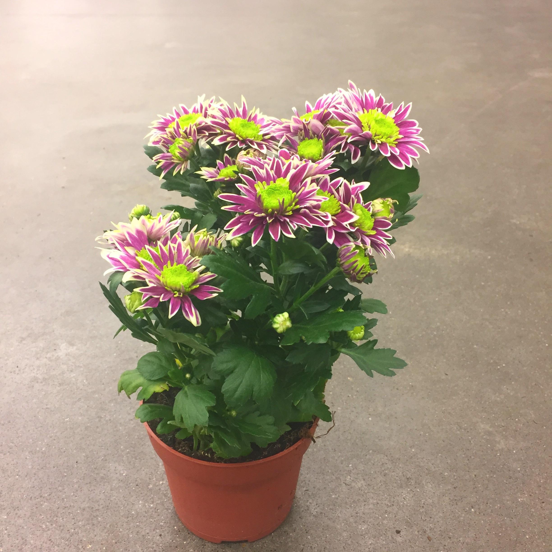 Хризантема саба зелёно-фиол