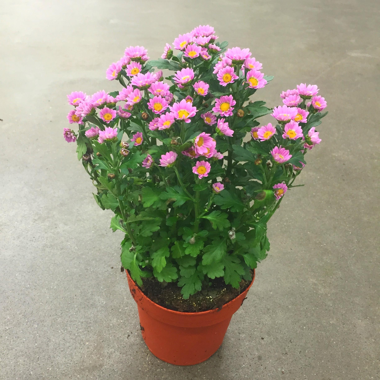 Хризантема мадиба танга розовая