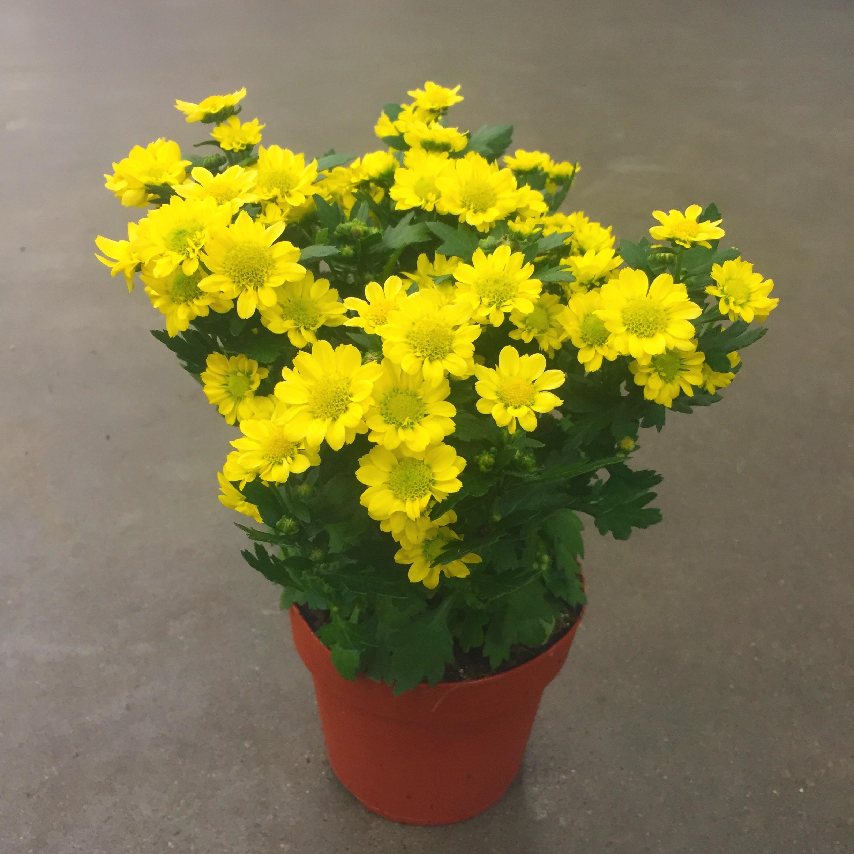 Хризантема мадиба ринга жёлт