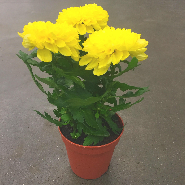 Хризантема зембла жёлтая