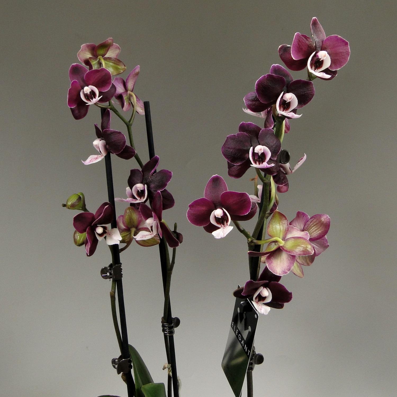 Чёрная Орхидея Kaoda Twinkle