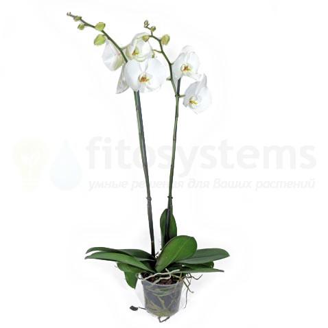 Орхидея фаленопсис белый 2 ст 90 см
