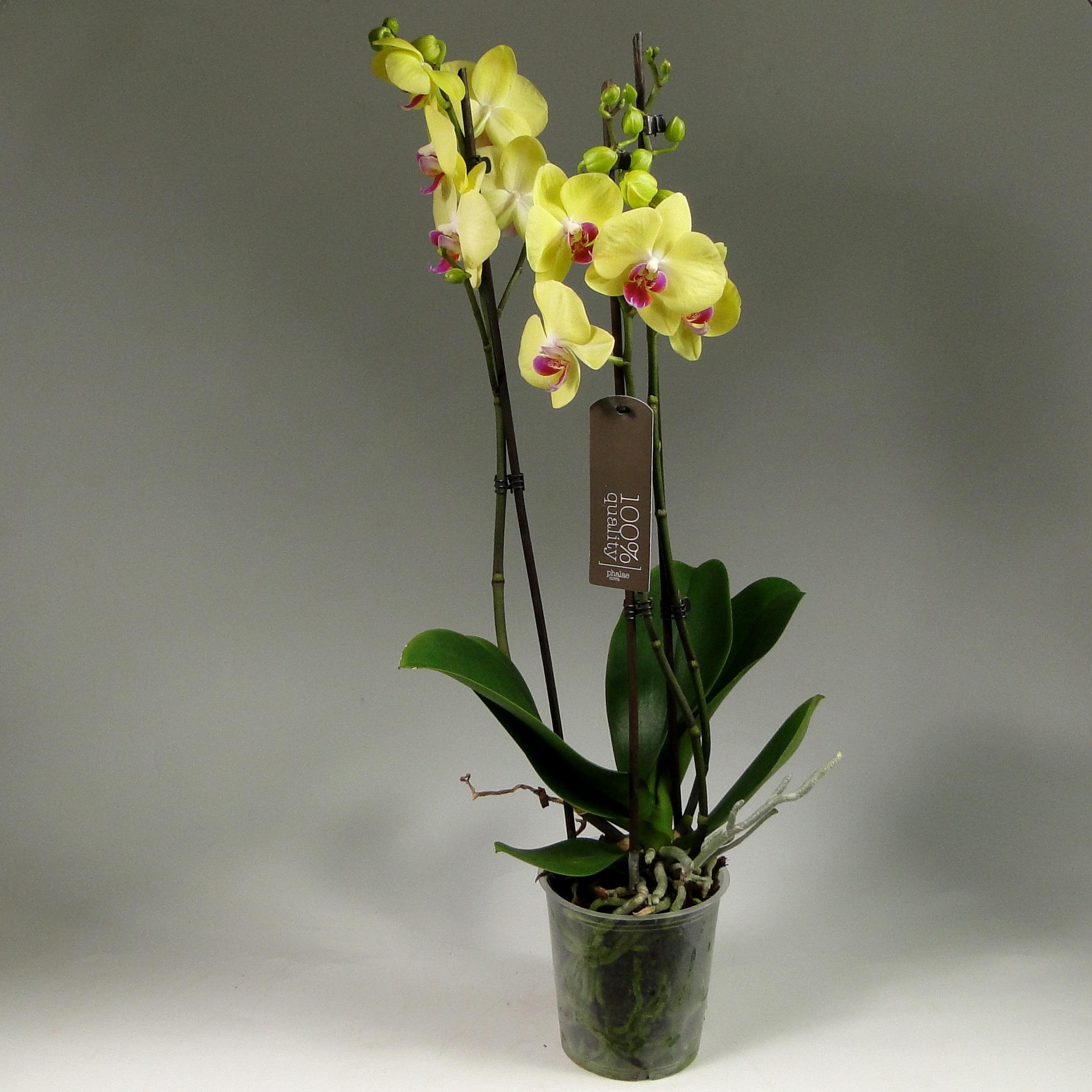 Орхидея фаленопсис Amalfi 2 ст