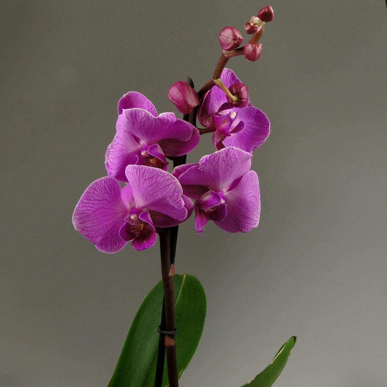 Орхидея фаленопсис Cardinal