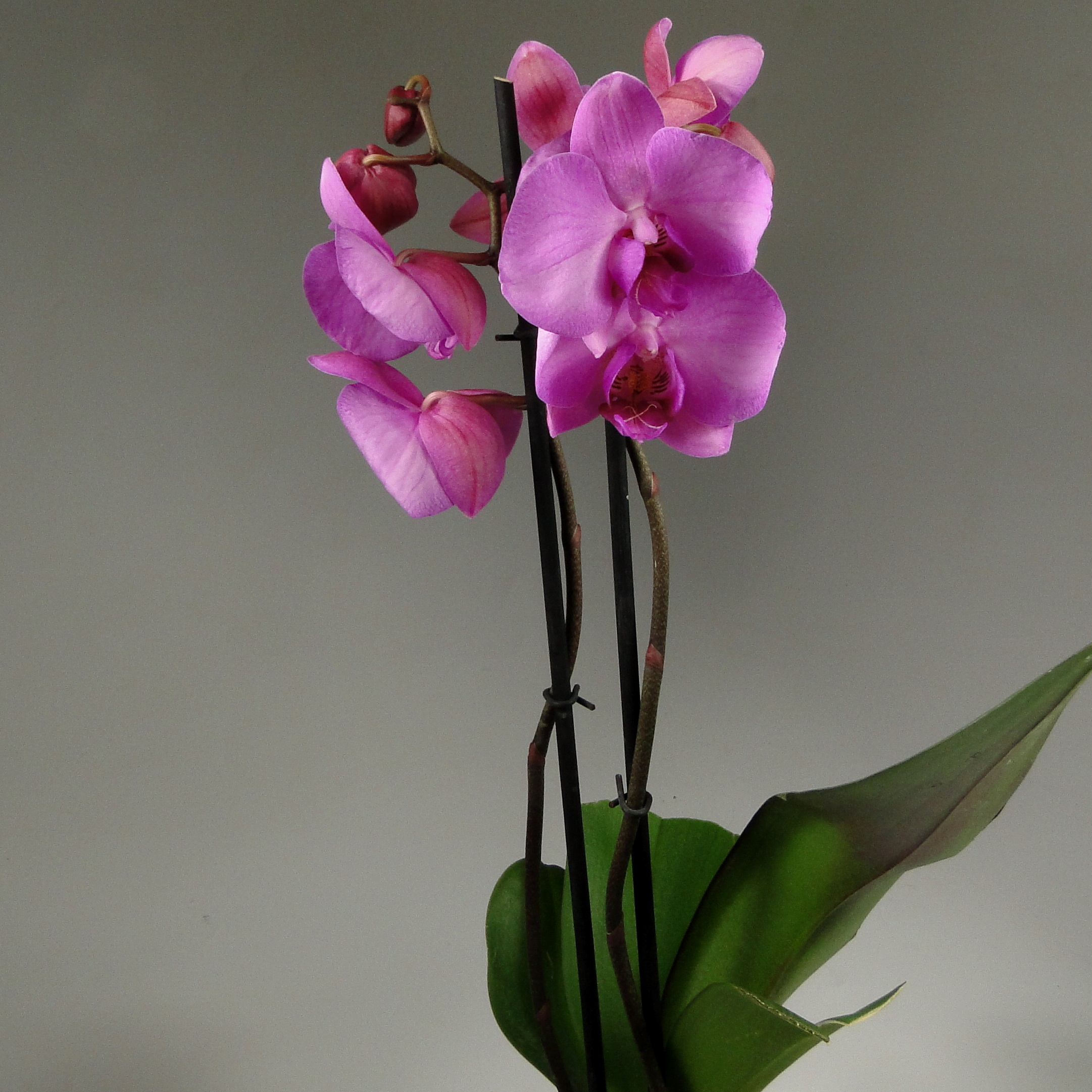 Орхидея фаленопсис Honglin Rose 2 ст