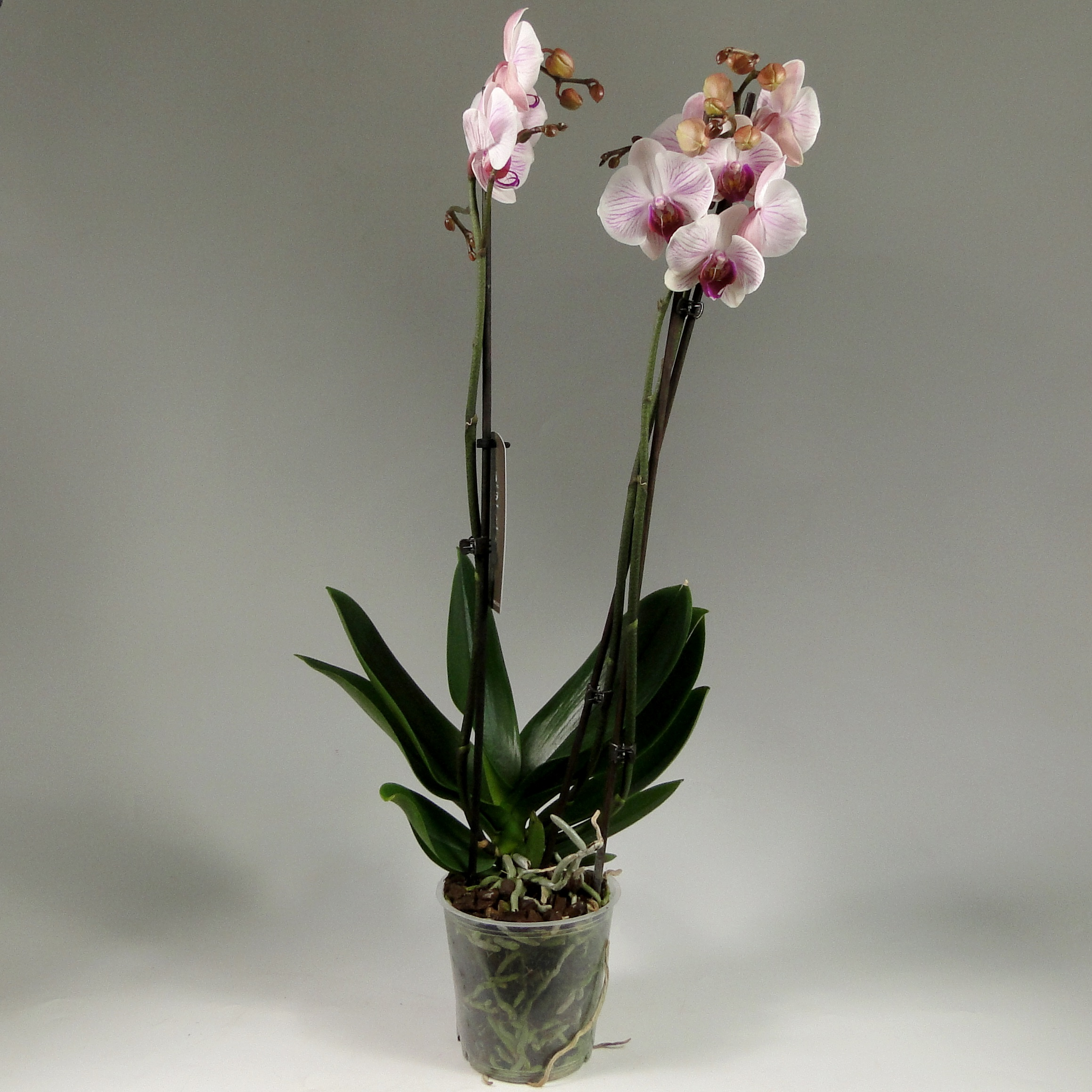Орхидея фаленопсис Charleston 3 ст