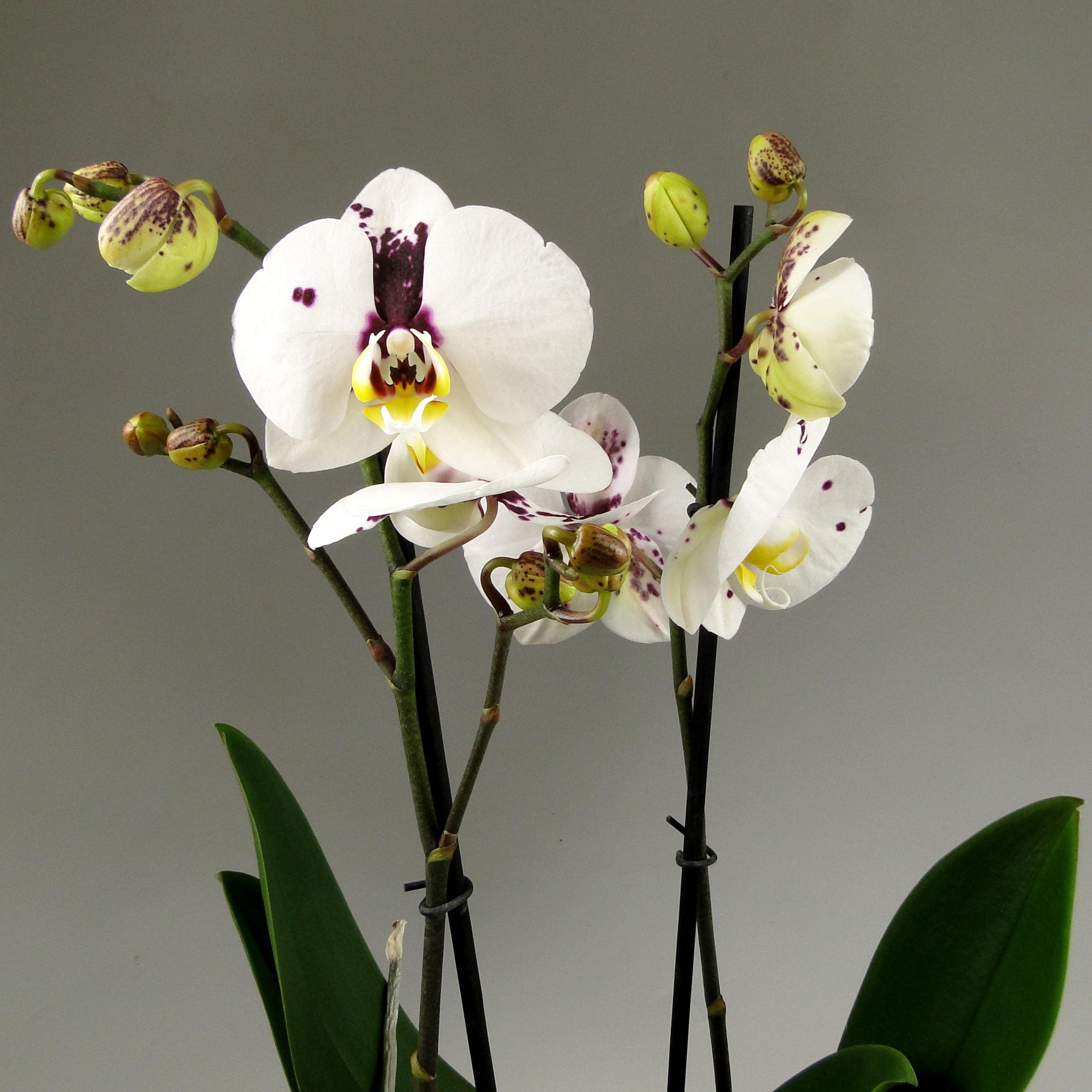Орхидея фаленопсис Chian Xen Angel