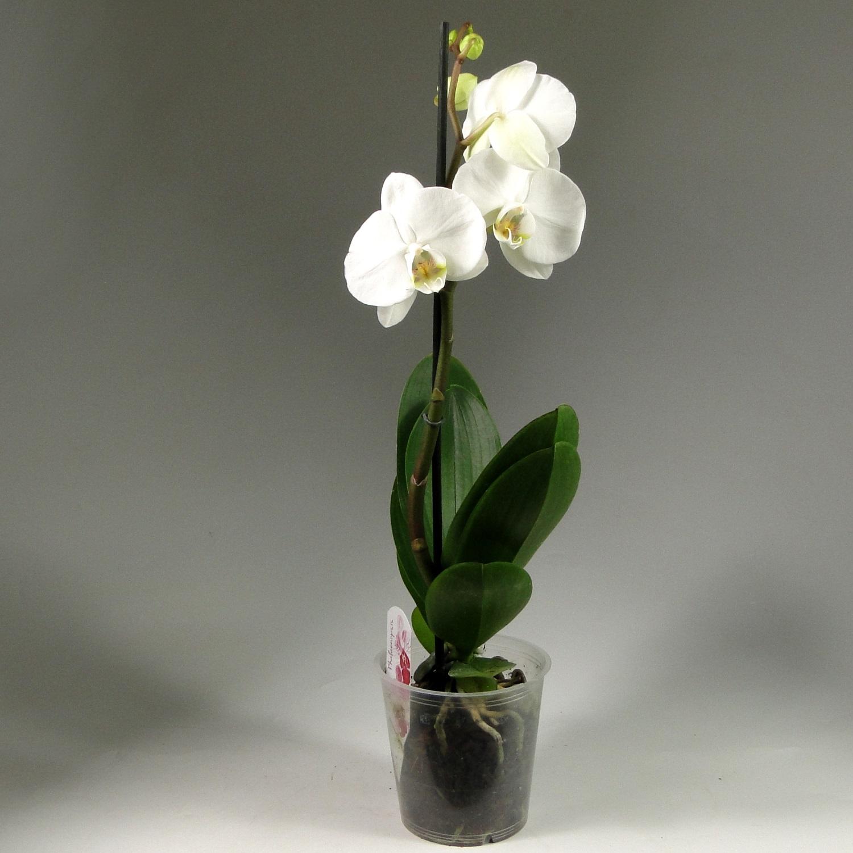 Орхидея фаленопсис белая Diamant 1 ст
