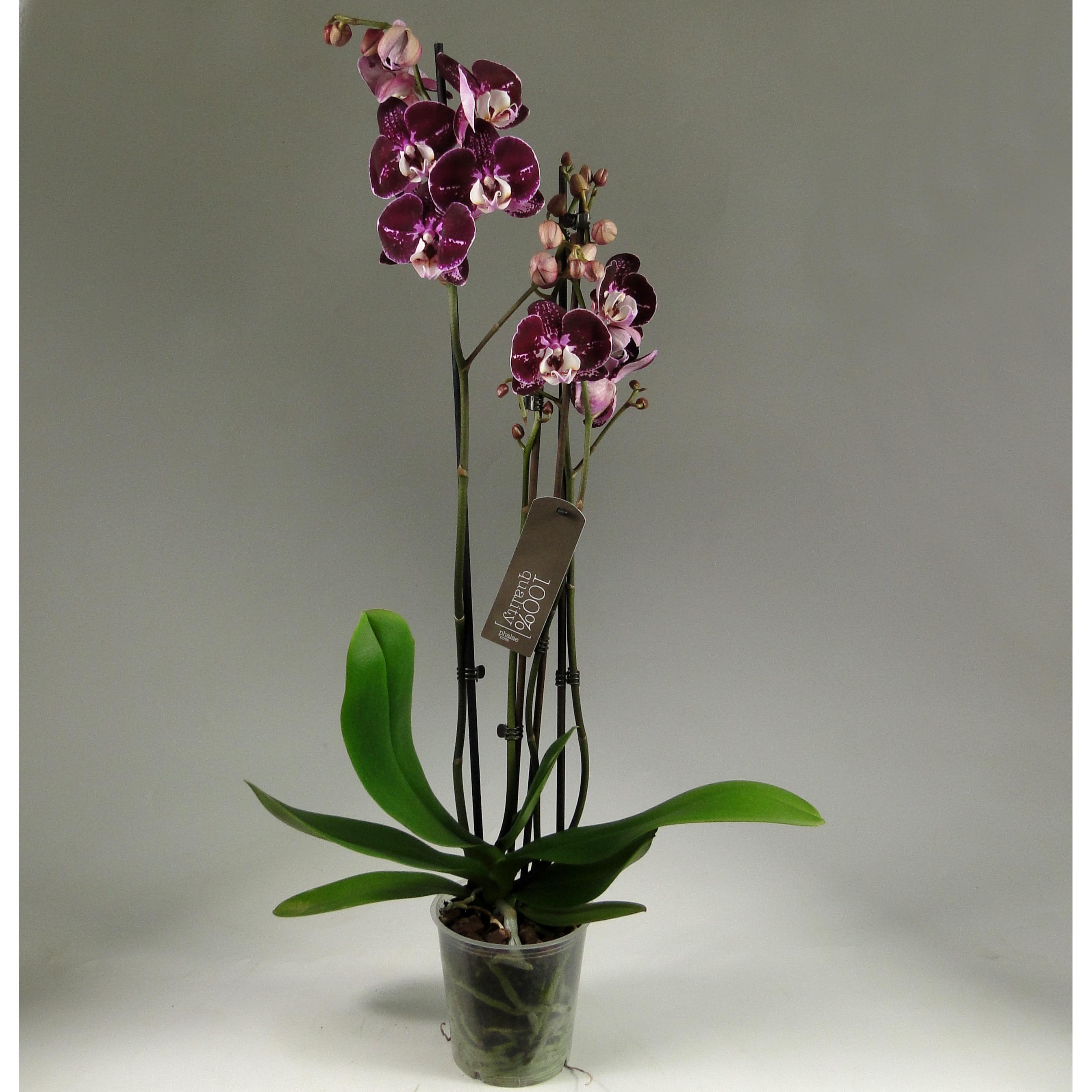 Орхидея фаленопсис фиолетово-белая