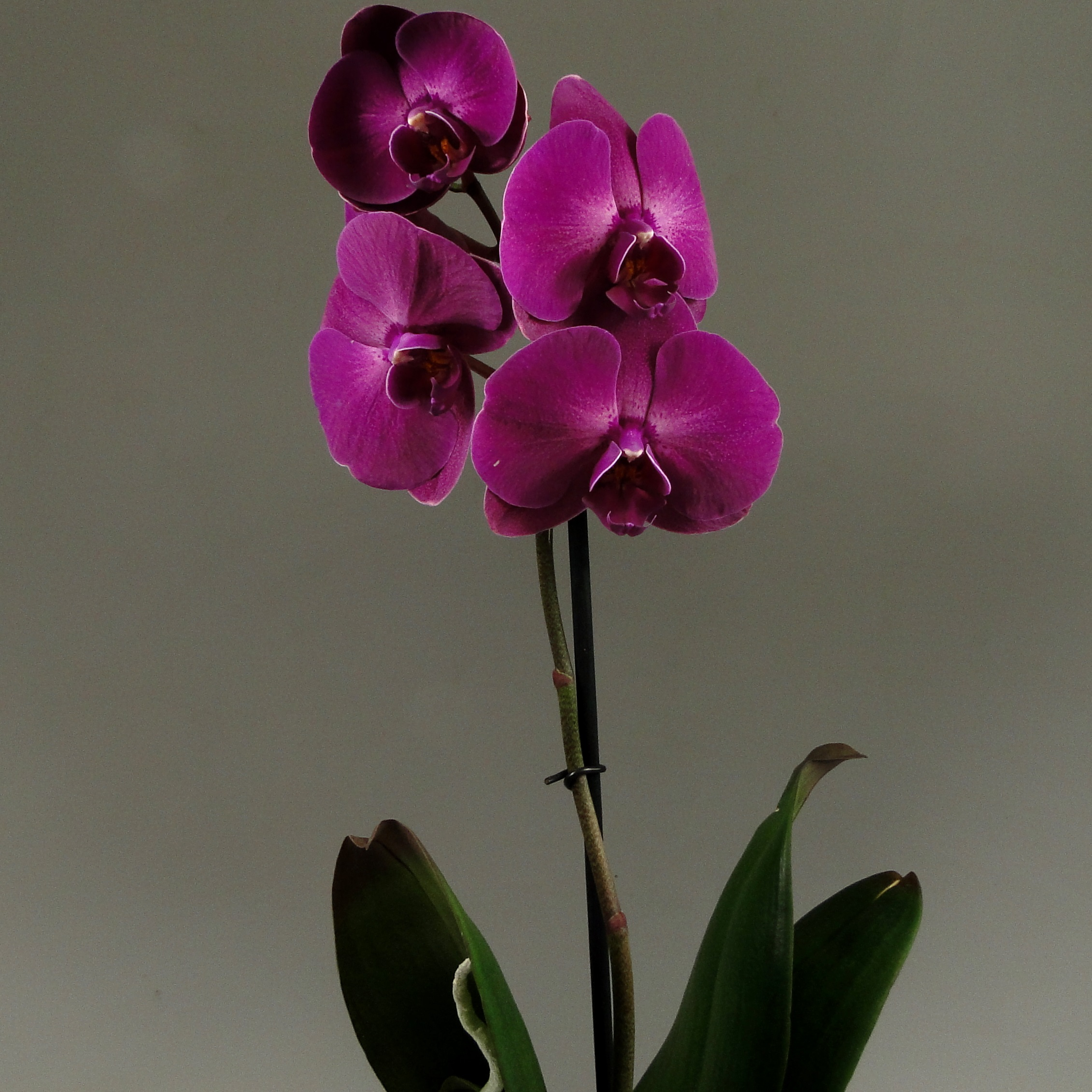 Орхидея фаленопсис Nemesis