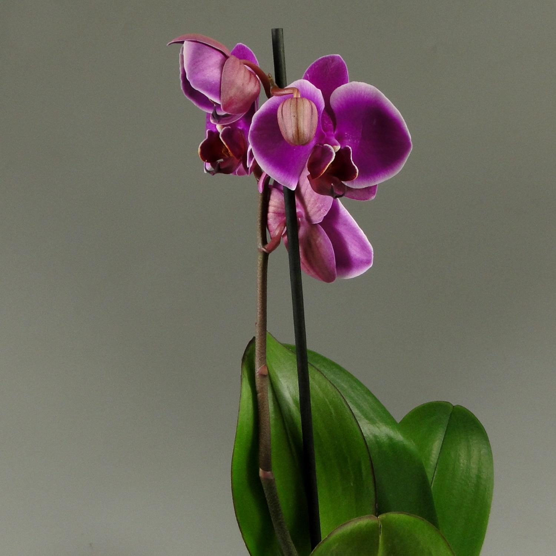 Орхидея фаленопсис Ruey Lih Beauty