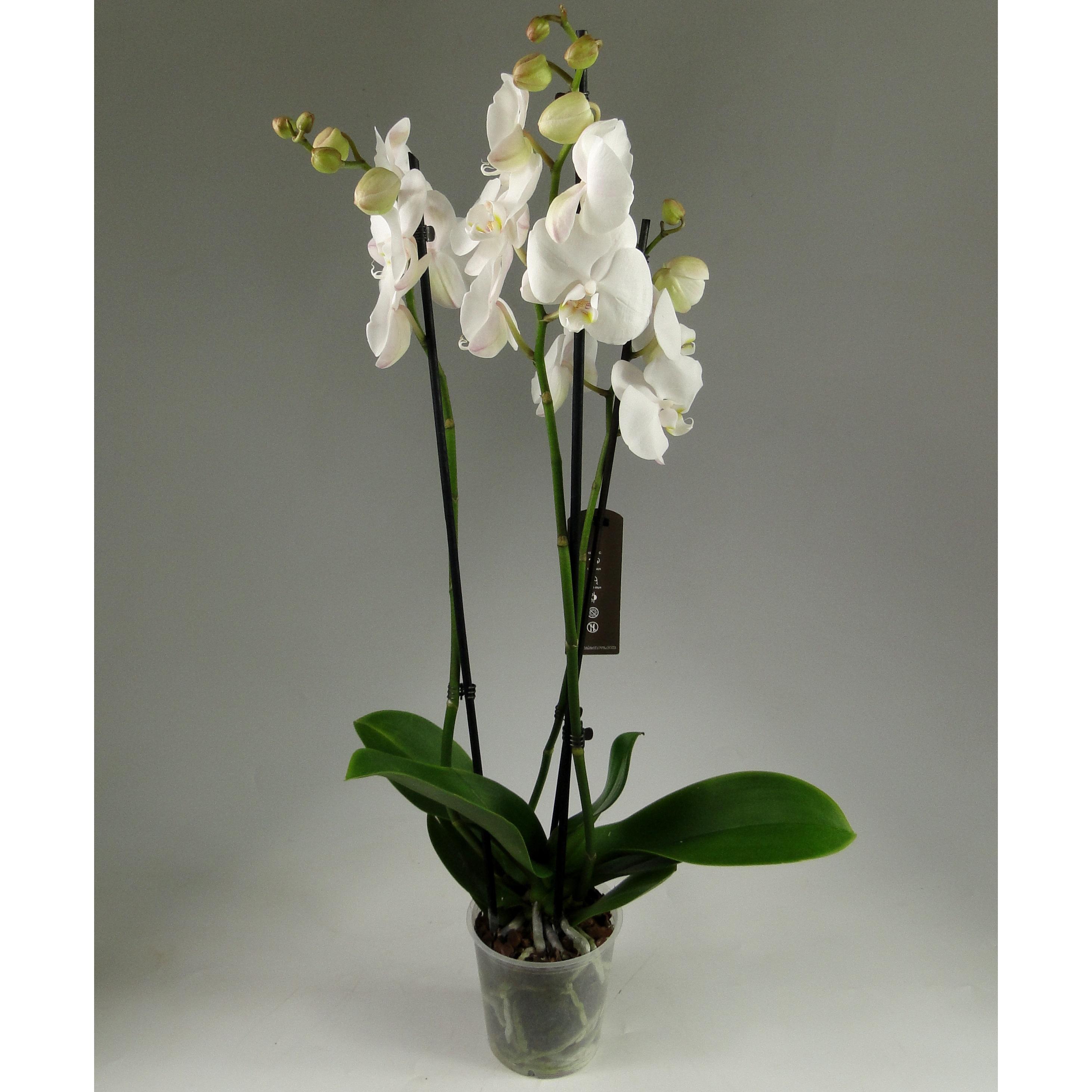 Орхидея фаленопсис белая 3 ст.