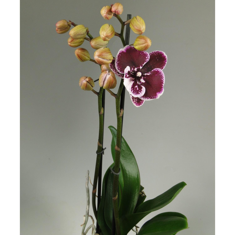 Орхидея фаленопсис белая с фиолетовым