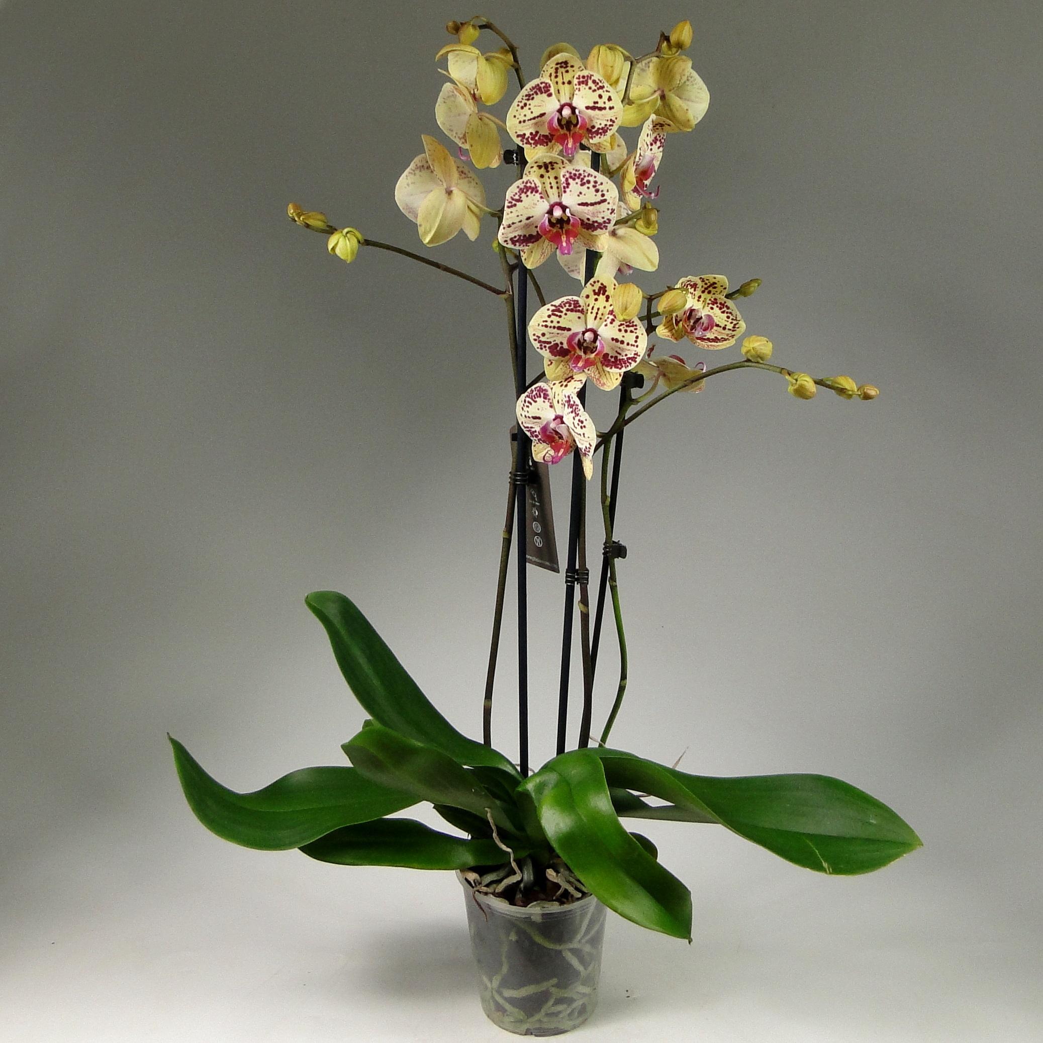 Орхидея фаленопсис Dazzle